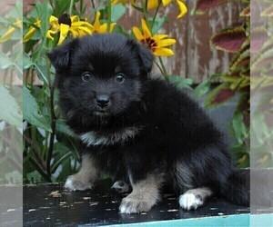Pomeranian Dog for Adoption in LANCASTER, Pennsylvania USA