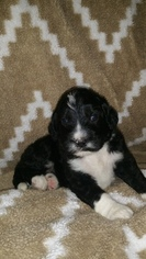 Bernese Mountain Poo Puppy For Sale in POPLAR BLUFF, MO, USA