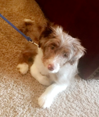 Australian Shepherd-Poodle (Toy) Mix Puppy for sale in DURHAM, NC, USA