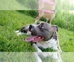 Small #37 Staffordshire Bull Terrier