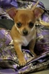 Chihuahua Puppy For Sale in LICKING, MO, USA