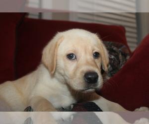 Labrador Retriever Puppy for sale in SARASOTA, FL, USA
