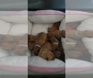 Dogue de Bordeaux Puppy for sale in KELLER, TX, USA