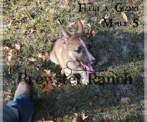 German Shepherd Dog Puppy for sale in HUNTINGTON, TX, USA