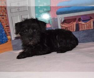 Schnauzer (Miniature) Puppy for sale in BARNESVILLE, KS, USA