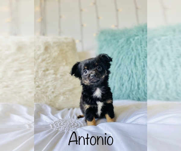 Medium Photo #2 Chihuahua Puppy For Sale in COOKEVILLE, TN, USA