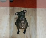 Small #3 American Pit Bull Terrier Mix