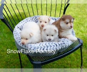 Pomsky Puppy for sale in KEIZER, OR, USA