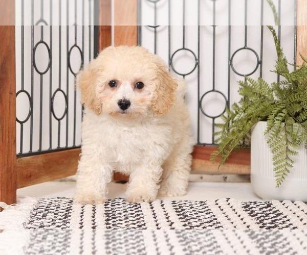 Medium Photo #2 Poochon Puppy For Sale in NAPLES, FL, USA