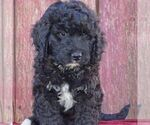 Small Bernedoodle