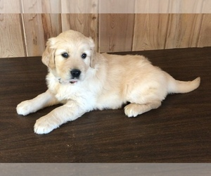 Golden Retriever Puppy for Sale in APPLE CREEK, Ohio USA