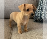 Small #16 Chiweenie