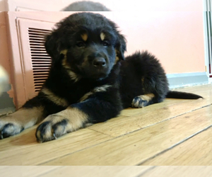 Rottweiler Puppy for sale in AKRON, OH, USA