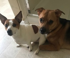 Jack Russell Terrier Dog For Adoption in NEWPORT NEWS, VA, USA
