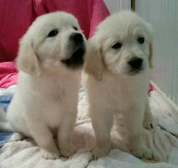 Golden Retriever Puppy For Sale in SEATTLE, WA