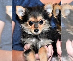 Yoranian Puppy for sale in ROCK VALLEY, IA, USA