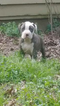 American Pit Bull Terrier Puppy For Sale in GRIFFIN, GA, USA