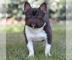 Father of the Faux Frenchbo Bulldog puppies born on 12/31/2020