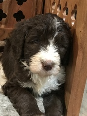Aussiedoodle Puppy For Sale in RANDLEMAN, NC, USA