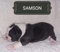 Olde English Bulldogge Puppy For Sale in GARRETTSVILLE, OH, USA