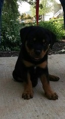 Rottweiler Puppy For Sale in WALLAND, TN