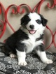 Australian Shepherd Puppy For Sale in THATCHER, AZ, USA