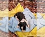 Puppy 12 Sheepadoodle