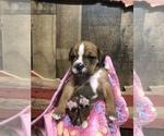 Puppy 0 Olde English Bulldogge