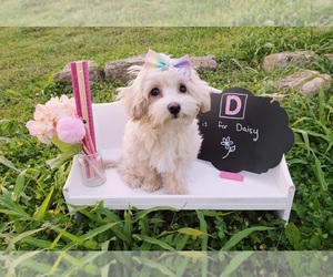 Maltipoo Puppy for sale in INDEPENDENCE, MO, USA