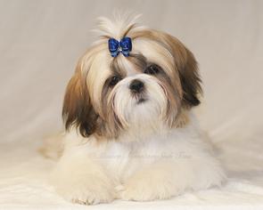 View Ad Shih Tzu Puppy For Sale Near Montana Condon Usa Adn 66083