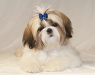 Shih Tzu Puppy For Sale in CONDON, MT, USA
