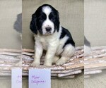 Puppy 1 English Springer Spaniel