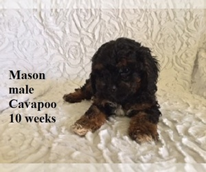 Cavapoo Puppy for sale in CLARKRANGE, TN, USA