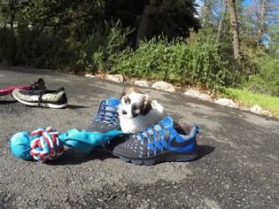 Shih Tzu Puppy For Sale in SAN JOSE, CA
