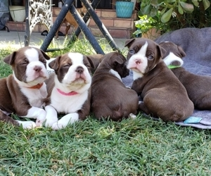 Boston Terrier Puppy for sale in LONG BEACH, CA, USA