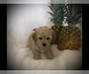 Poodle (Toy) Puppy for Sale in SAFFORD, Arizona USA