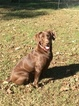 Labrador Retriever Puppy For Sale in SPRING HOPE, NC