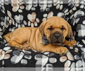 Boerboel Puppy for sale in NOTTINGHAM, PA, USA