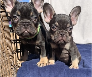 French Bulldog Puppy for sale in CORONA, CA, USA