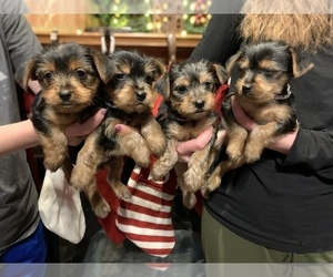 Yorkshire Terrier Puppy for sale in NORMAN, OK, USA