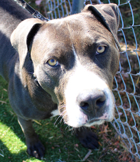 Sprite - American Pit Bull Terrier / Mixed (short coat) Dog For Adoption