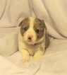 Welsh Cardigan Corgi Puppy For Sale in MILWAUKEE, WI