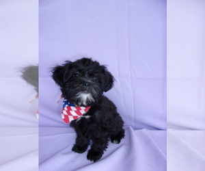 Shih-Poo Puppy for Sale in CATLETT, Virginia USA