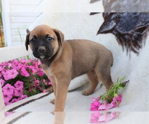 Boxador Dog for Adoption in SHILOH, Ohio USA