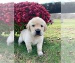 Puppy 1 Golden Labrador