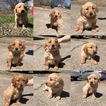 Golden Retriever Puppy For Sale in HOMINY, OK, USA