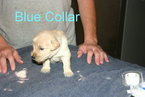 Golden Retriever Puppy For Sale in DAVENPORT, FL
