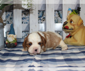Cavalier King Charles Spaniel Dog for Adoption in CHANUTE, Kansas USA