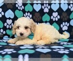 Small #3 Cavachon-Poodle (Toy) Mix