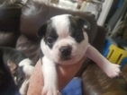 Boston Terrier Puppy For Sale in SYLVANIA, GA, USA